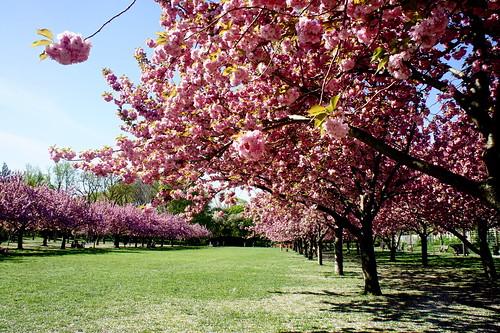 Brooklyn Botanic Garden Cherry Blossoms Esplanade New Yor Flickr