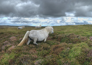 Wild Ponies in the heather.. | by chas frodsham