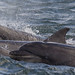 BND Bottlenose dolphin (Tursiops truncatus) 04 Sep-12-44941