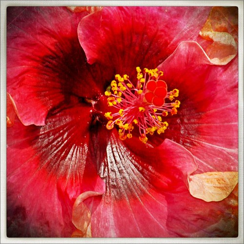 #PhotoToaster#hibiscus #longwood #longwoodgardens #garden #kennettsquare #pennsylvania | by larryn2009