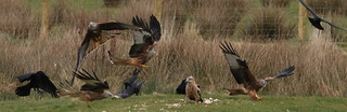 Ravens and Red Kites | by S C photos