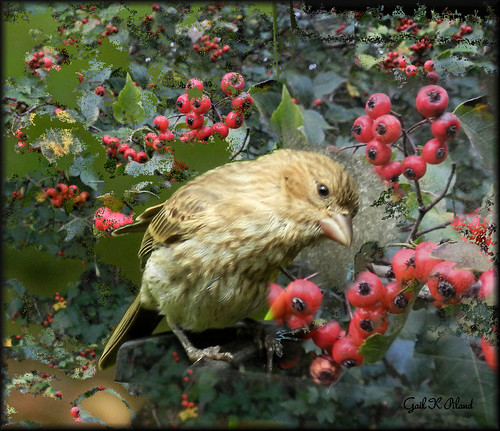 Sparrow & Hawthorn berries...... September 20, 2012 | by gailpiland