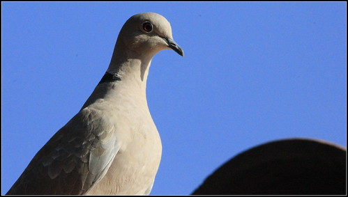 EURASIAN COLLARED DOVE | by cuatrok77