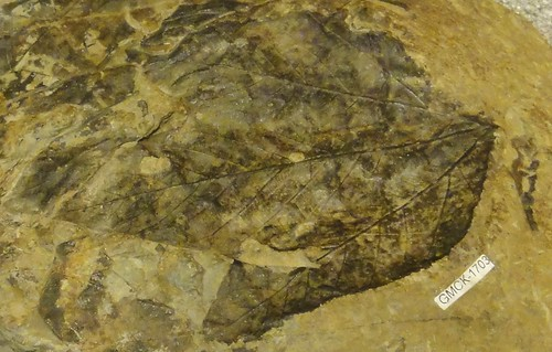 Image shows a tan rock with a large leaf impression.