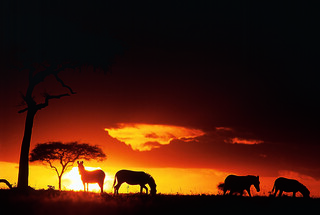 Zebra silhouetted in sunset by Paul Goldstein | by Exodus Travels - Reset your compass