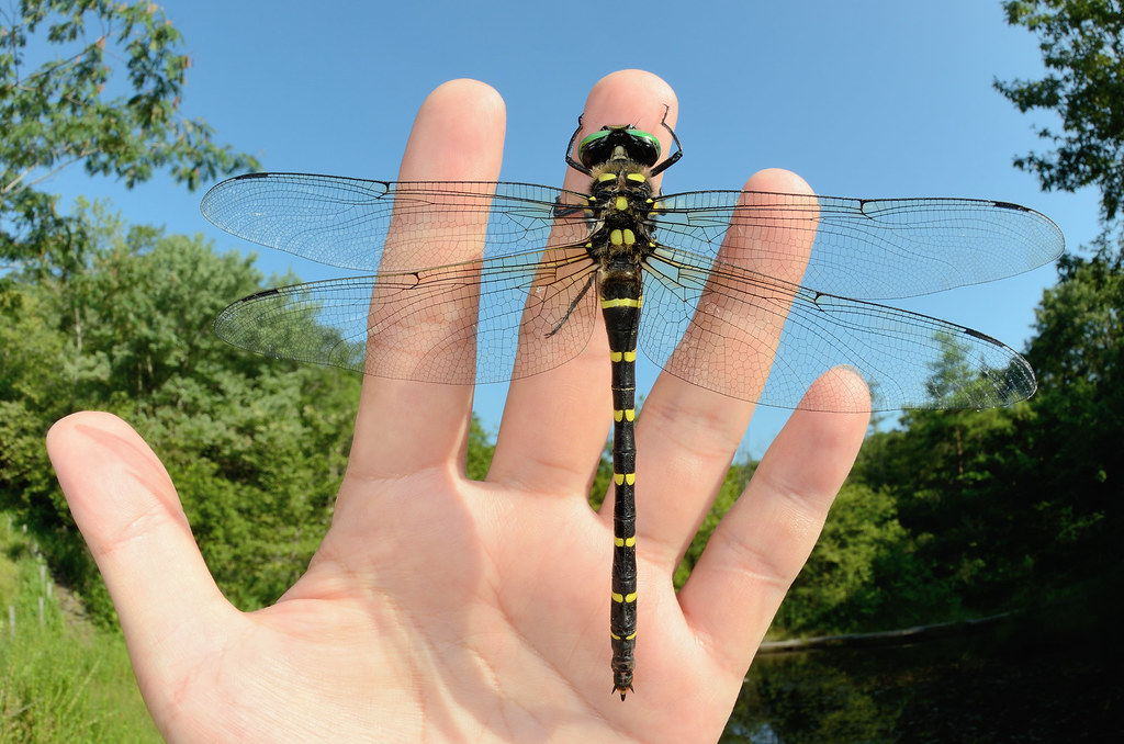 BIGGEST DRAGONFLY IN JAPAN | They are the second biggest in … | Flickr