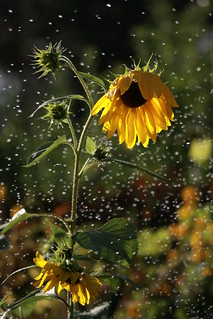 sunflower-drops | by JeremyOK