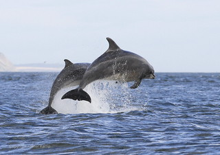 Bottlenose Dolphins - Chanonry point  2/9/12 | by Ally.Kemp