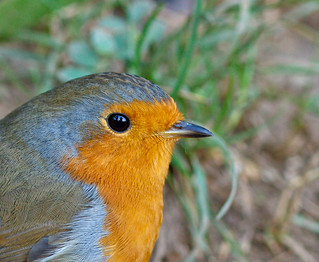 ROBIN | by Tales From The Riverbank