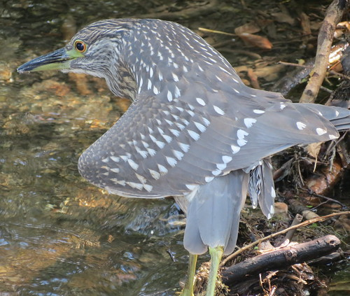baby black-crowned night-heron. Airone in Italian | by ottavia99