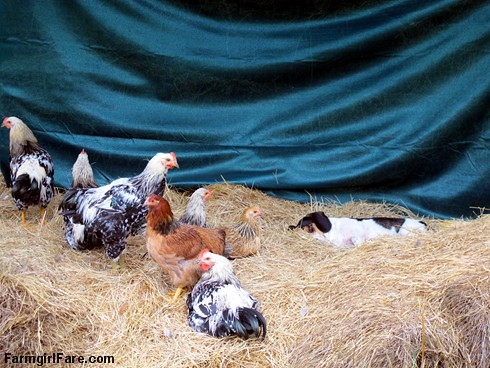 Beagle Bert, chicken whisperer (2) | by Farmgirl Susan