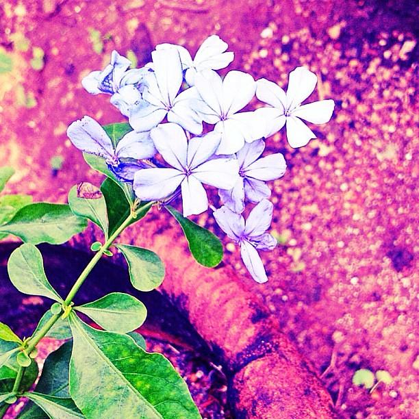 Good Morning Manila Flower Garden Followme Beautiful Flickr