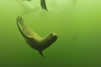 Diving with sea lions in Peru with Nature Expeditions (3) | by stefanaustermuhle