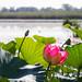 flower of lotos