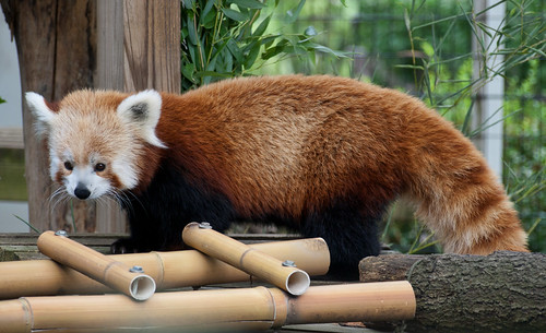 Red panda 03 | by Podsville