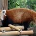 Red panda 03