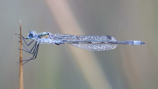 Emerald Damselfly | by Ann@Plas Gwernoer
