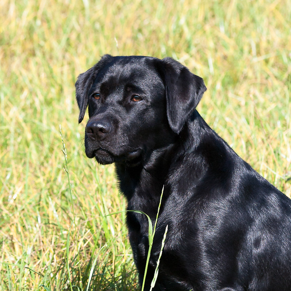 black lab golden retriever black labrador retriever lotte golden retriever 5396