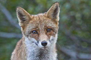A Fox portrait in the mountain, Pescasseroli, Italy | by Gennari Davide
