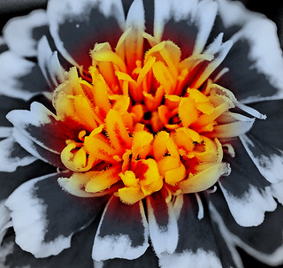 French marigold | by Digisnapper (George)