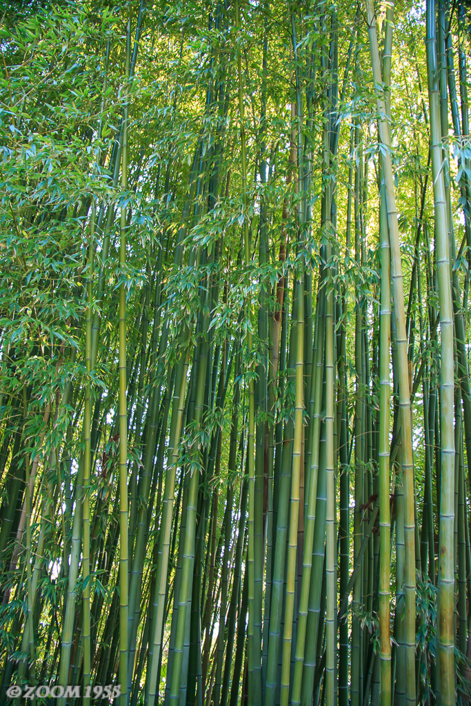Bambu Jardin Botanico De Blanes Zoom1955 Flickr - Jardin-bambu
