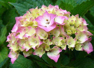 Hydrangea for my friends & contacts :) | by ~J♡onbicykle ☞