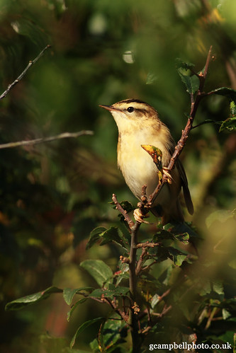 Sedge Warbler (Acrocephalus schoenobaenus) Explored | by gcampbellphoto