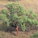Sobreiro // Cork Oak (Quercus suber)