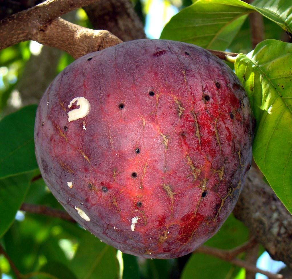 heart fruit fruit flies wiki