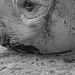 Black rhino 17