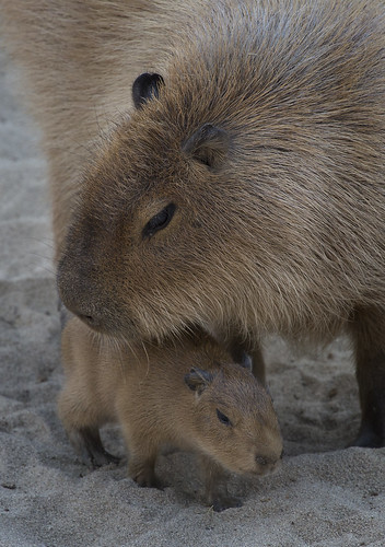 Baby capybara | by San Diego Zoo Global
