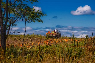 Harvesting Pumpkins | by Vicki Lund Photography