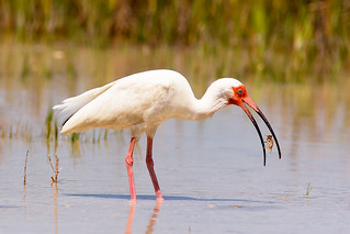 White Ibis -- Dinnertime | by exerda