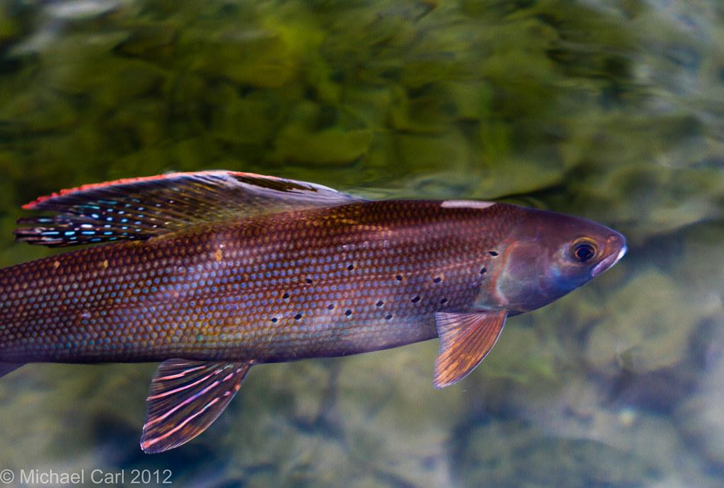 Arctic grayling michael carl flickr for Alaska freshwater fish