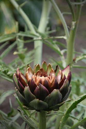 Artichoke? | by sparkeypants