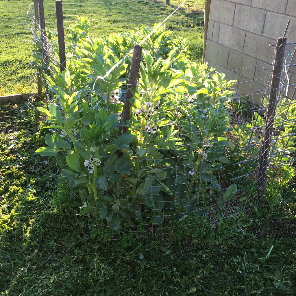 very tall broad beans surrounded by a wire fence to keep the chickens out. they're now as tall as the fence!