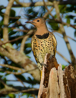 Northern flicker7443 | by pixel pitch