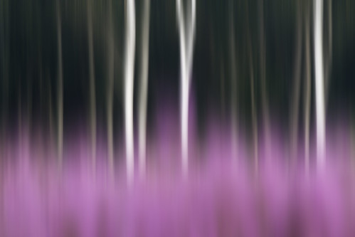 Heather and trees | by Justin Minns