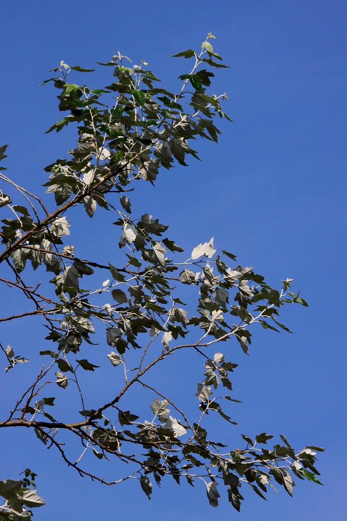 White Poplar Tree Leaf Silver Leaf | W...