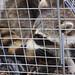 Raccoon: the coda
