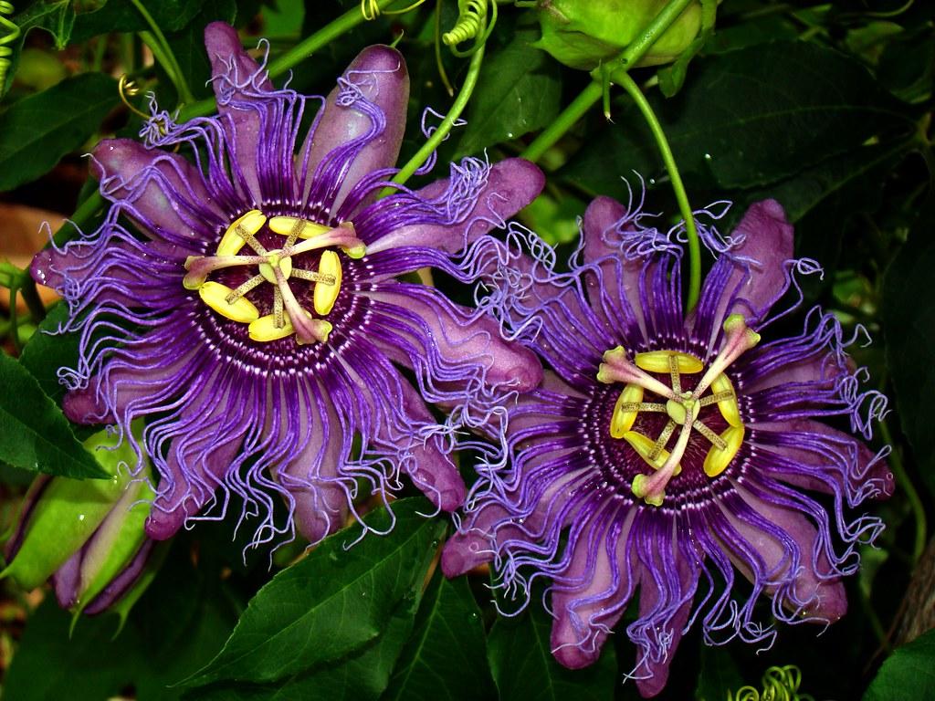 passionflower 46 passiflora incense 6 passiflora