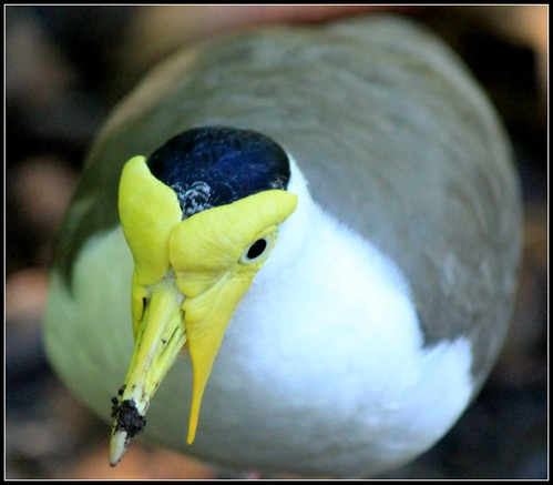 MASKED LAPWING | by cuatrok77