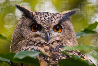Eagle Owl | by Keith in Southampton