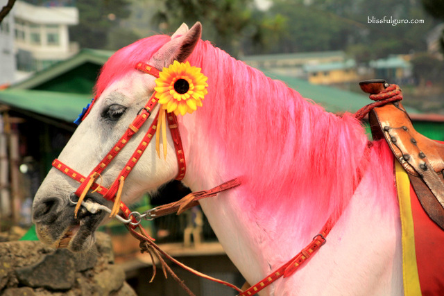 Baguio City Pink Horse