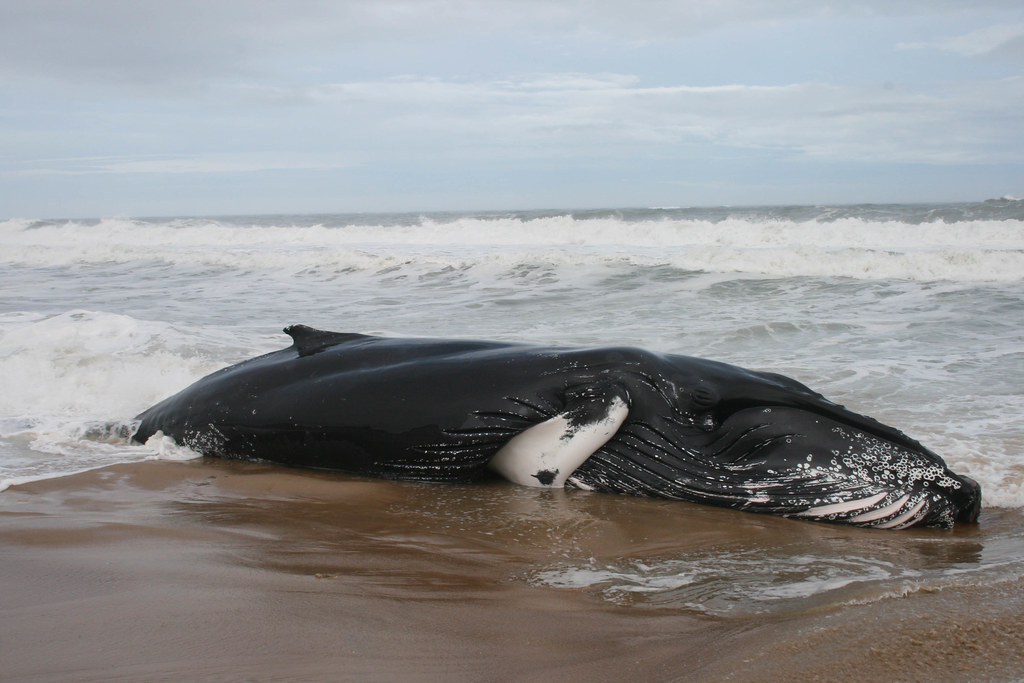 Photo of stranded humpback whale.