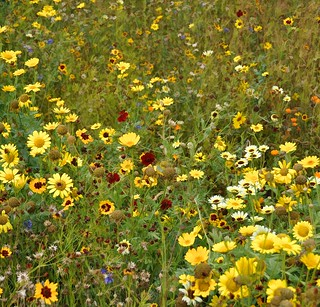 meadow/prairie planting in the Olympic park | by Jane Brown~