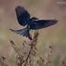 BLACK DRONGO  (Dicrurus Macrocercus) [ Adult ]