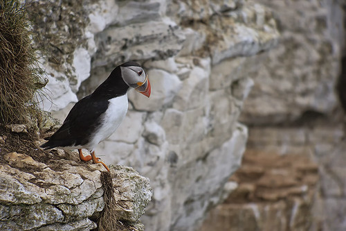 Puffin 42 | by 5Bellies Digiscoping
