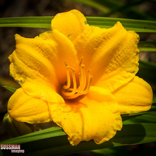 Day Lily | by The Suss-Man (Mike)