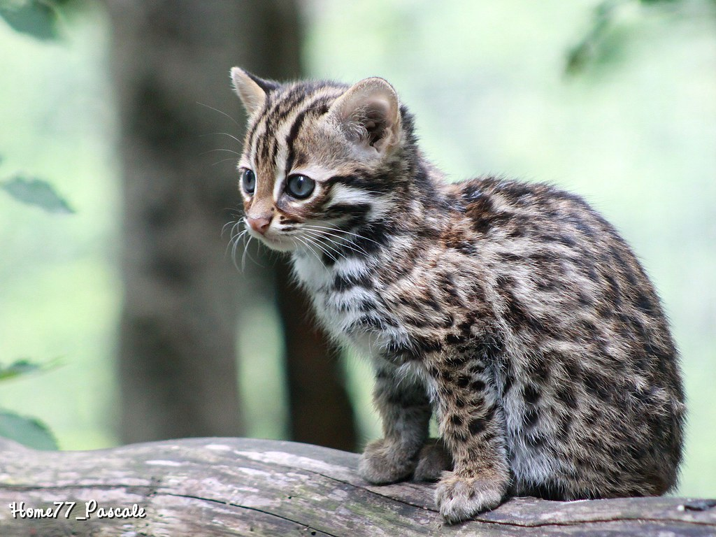 B b chat l opard du bengale 2 mois n le 20 07 2012 - Chat type leopard ...